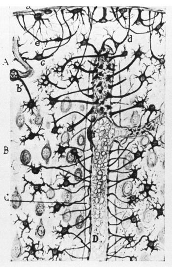 Cèl·lules neuronals de gat. Il·lustració de Cajal. Imatge: U.S National Library of Medicine.