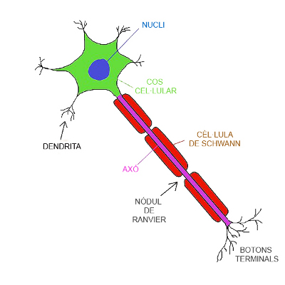 Neurona. Imatge Wikimedia Commons.