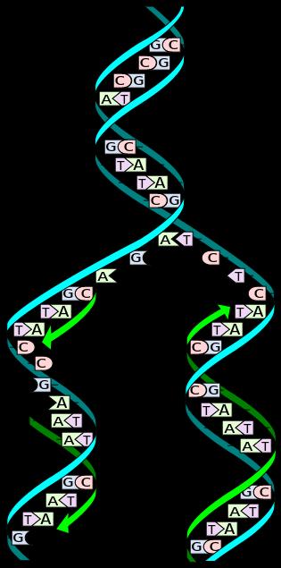 Replicació de l'ADN. Imatge Wikimedia Commons.