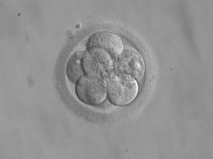 Embrió de 8 cèl·lules a punt per ser transferit. Imatge Wikimedia Commons.