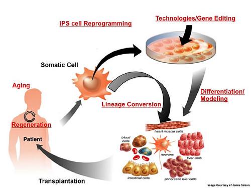 Treball del laboratori d'Izpisúa a l'Institut Salk. http://www.salk.edu/labs/belmonte/