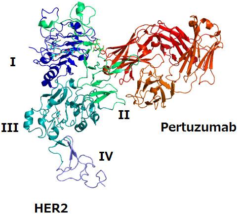 Acció del pertuzumab sobre l' HER-2. Imatge Wikimedia Commons.