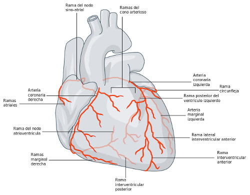 «Coronary arterial circulation - es» de Addicted04 - Trabajo propio. Disponible bajo la licencia CC BY 3.0 vía Wikimedia Commons -